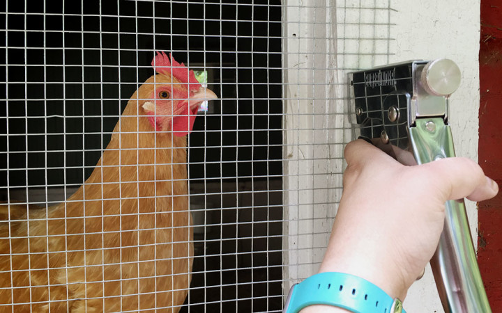 Stapling hardware cloth with chicken observing | Life In Beta