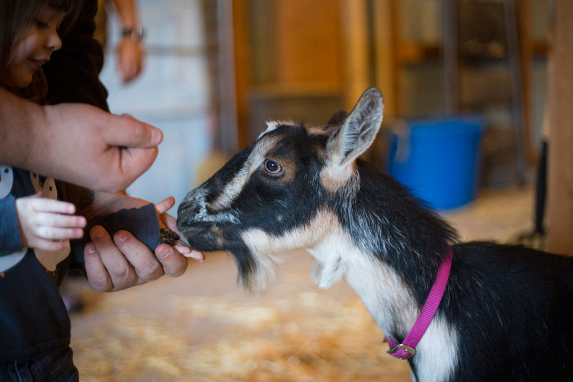 Amelia feeding our new goat, Candy - Little Red Farmstead
