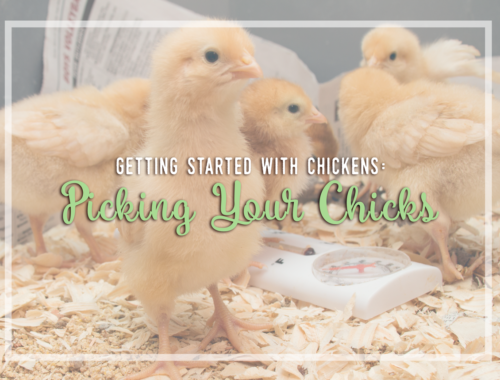 Getting Started with Chickens: Picking Your Chicks