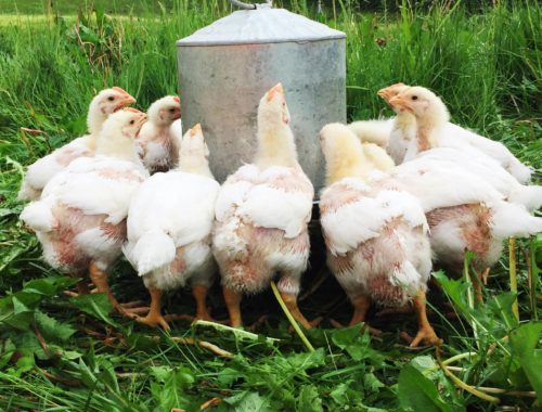 Meat chickens gathered at the waterer | Little Red Farmstead