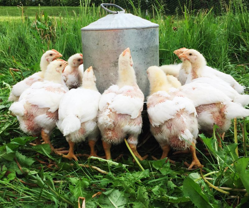 Meat chickens gathered at the waterer   Little Red Farmstead
