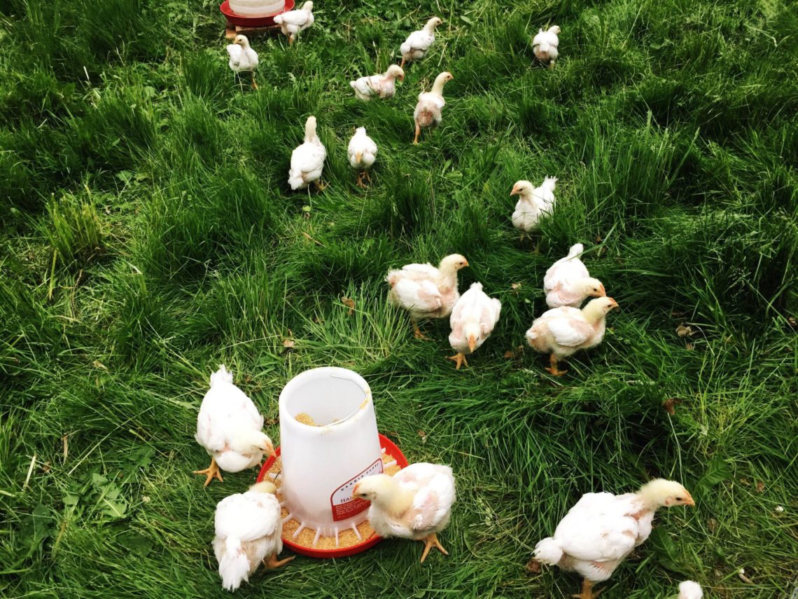 Meat chickens on grass at last | Little Red Farmstead