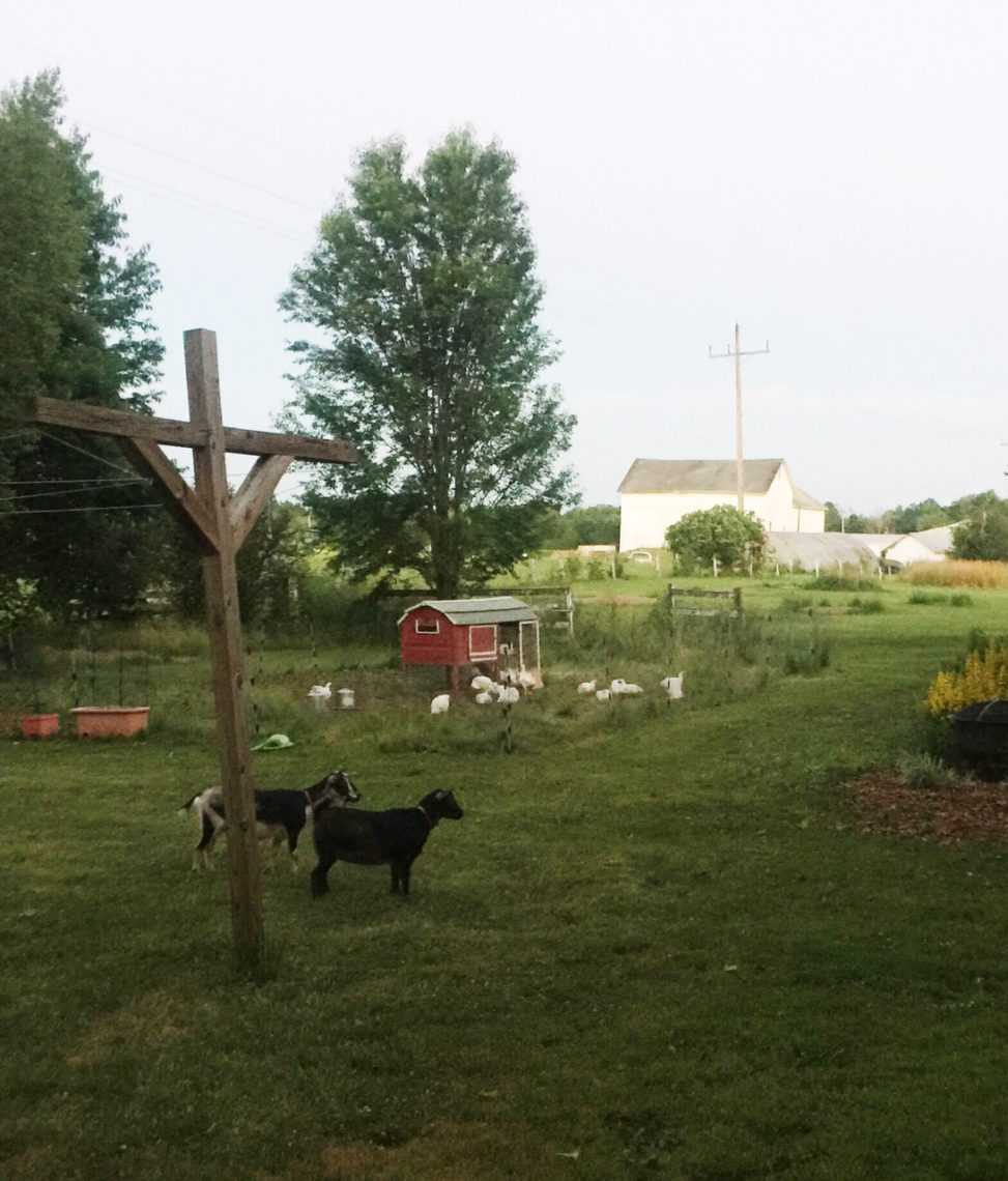 Goats and meat chickens | Little Red Farmstead