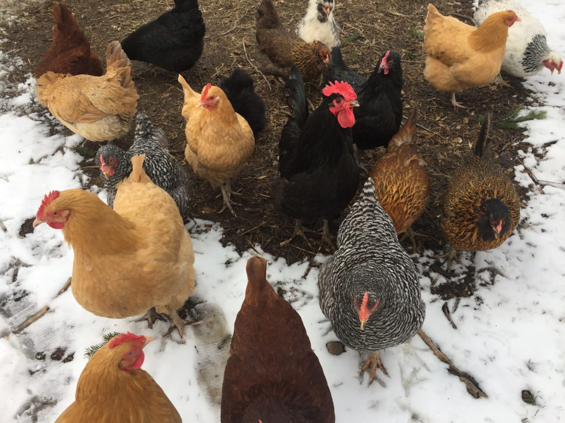 Our colorful laying flock / Little Red Farmstead