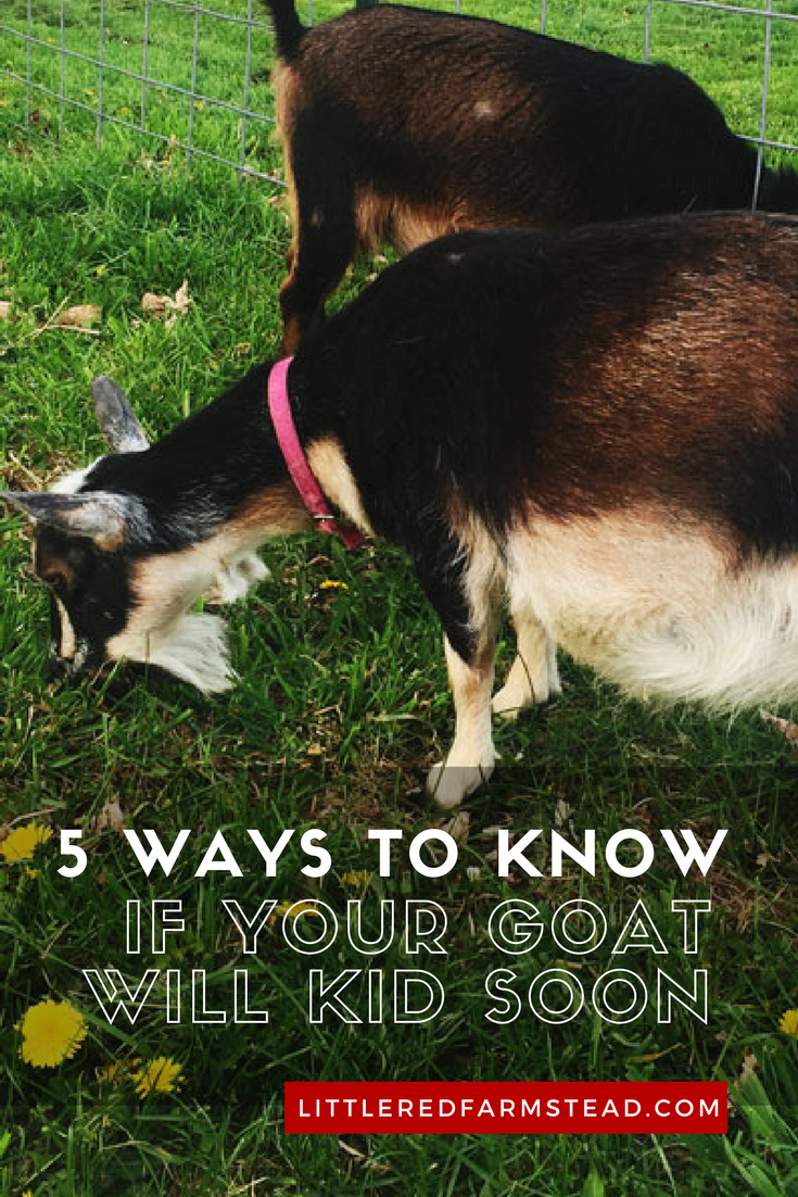 5 Ways to Know If Your Goat Will Be Kidding Soon   Little Red Farmstead