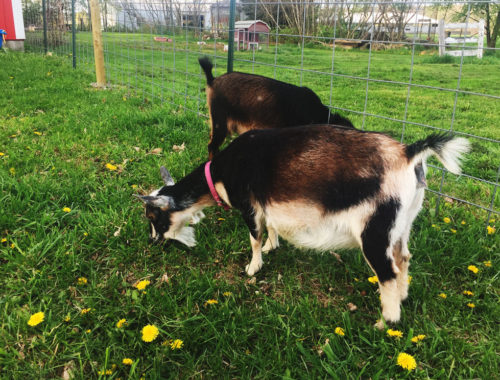 Our Nigerian Dwarf, expecting kids soon! | Little Red Farmstead