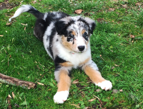 Our new Australian Shepherd, Crosby | Little Red Farmstead