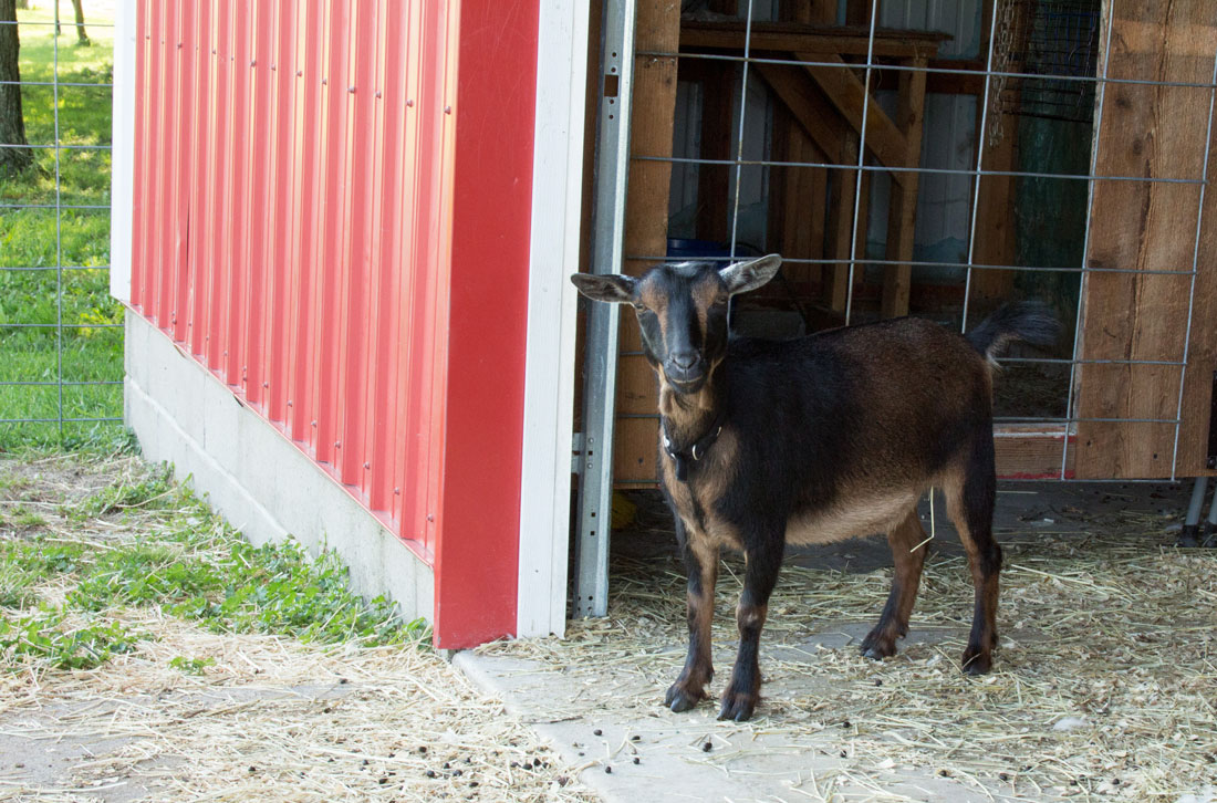 Reese looks on | Little Red Farmstead