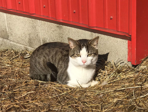 Tigger the barn cat