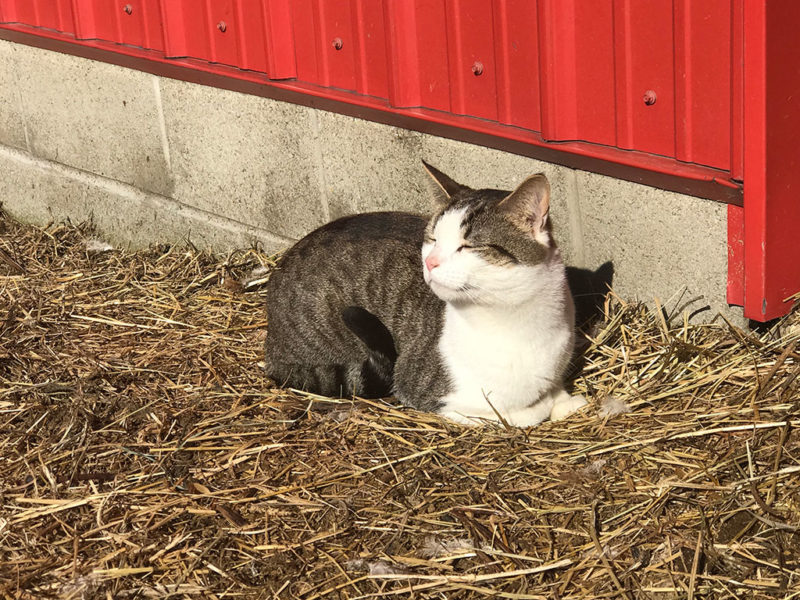 Tigger the barn cat