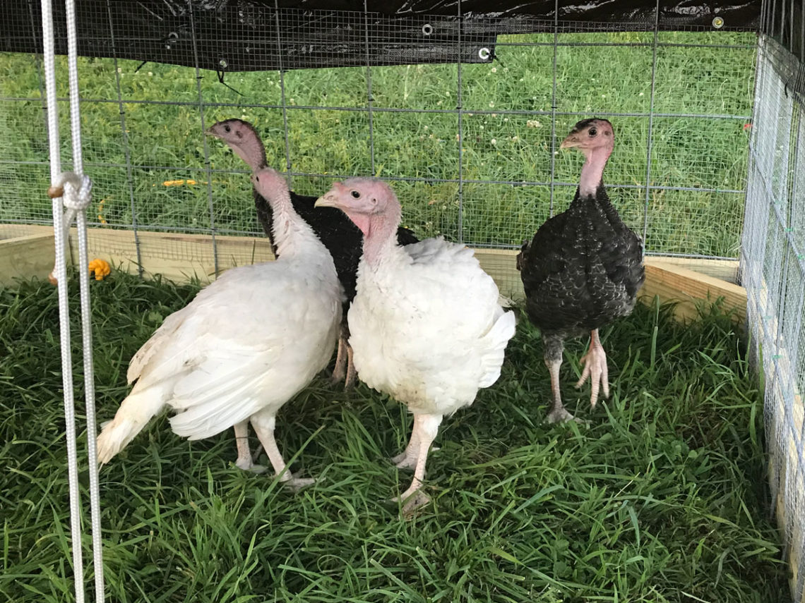 8 week old turkeys on grass | Little Red Farmstead